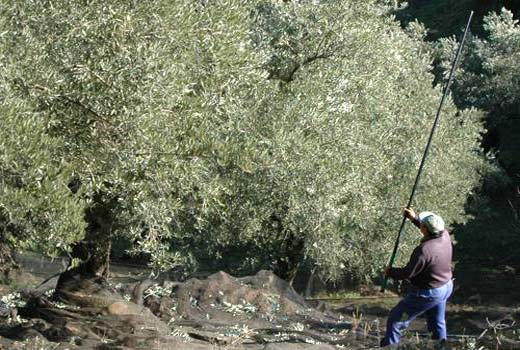 Harvesting olives for olive oil production